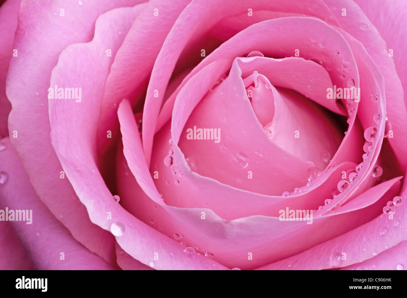 Pink rose with water droplets - Stock Image