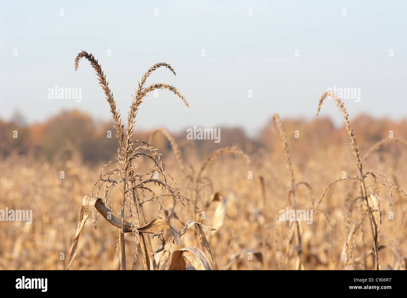 Ears of corn in the sun. - Stock Image