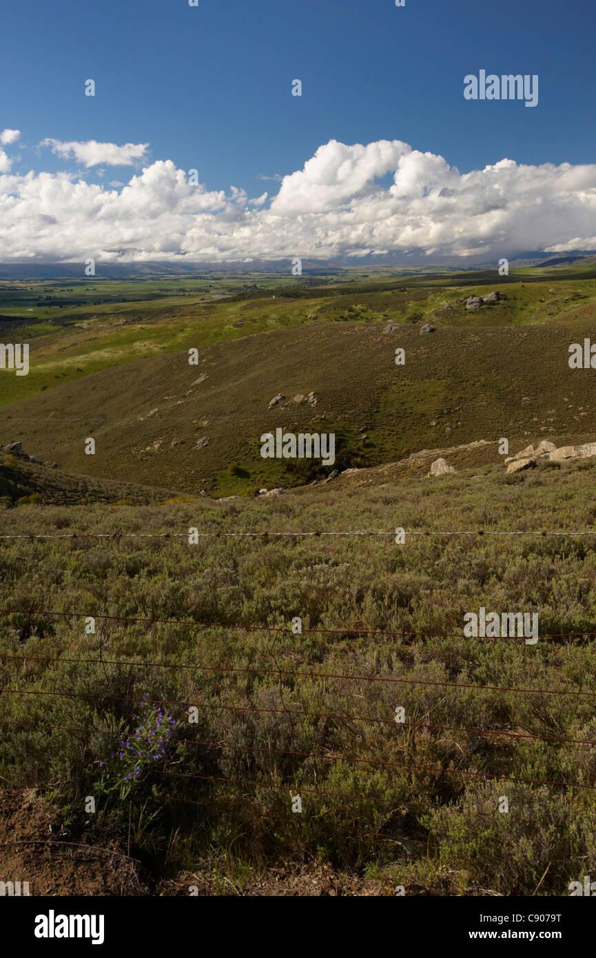 Wild Thyme, Maniototo, Otago, South Island, New Zealand - Stock Image