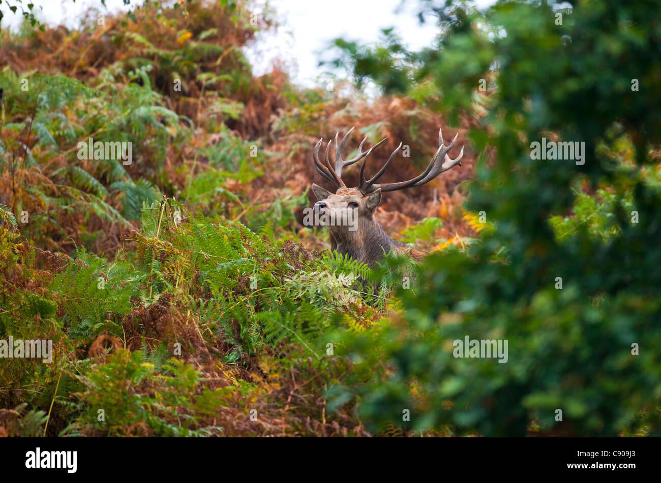 Red deer (Cervus elaphus) - Stock Image