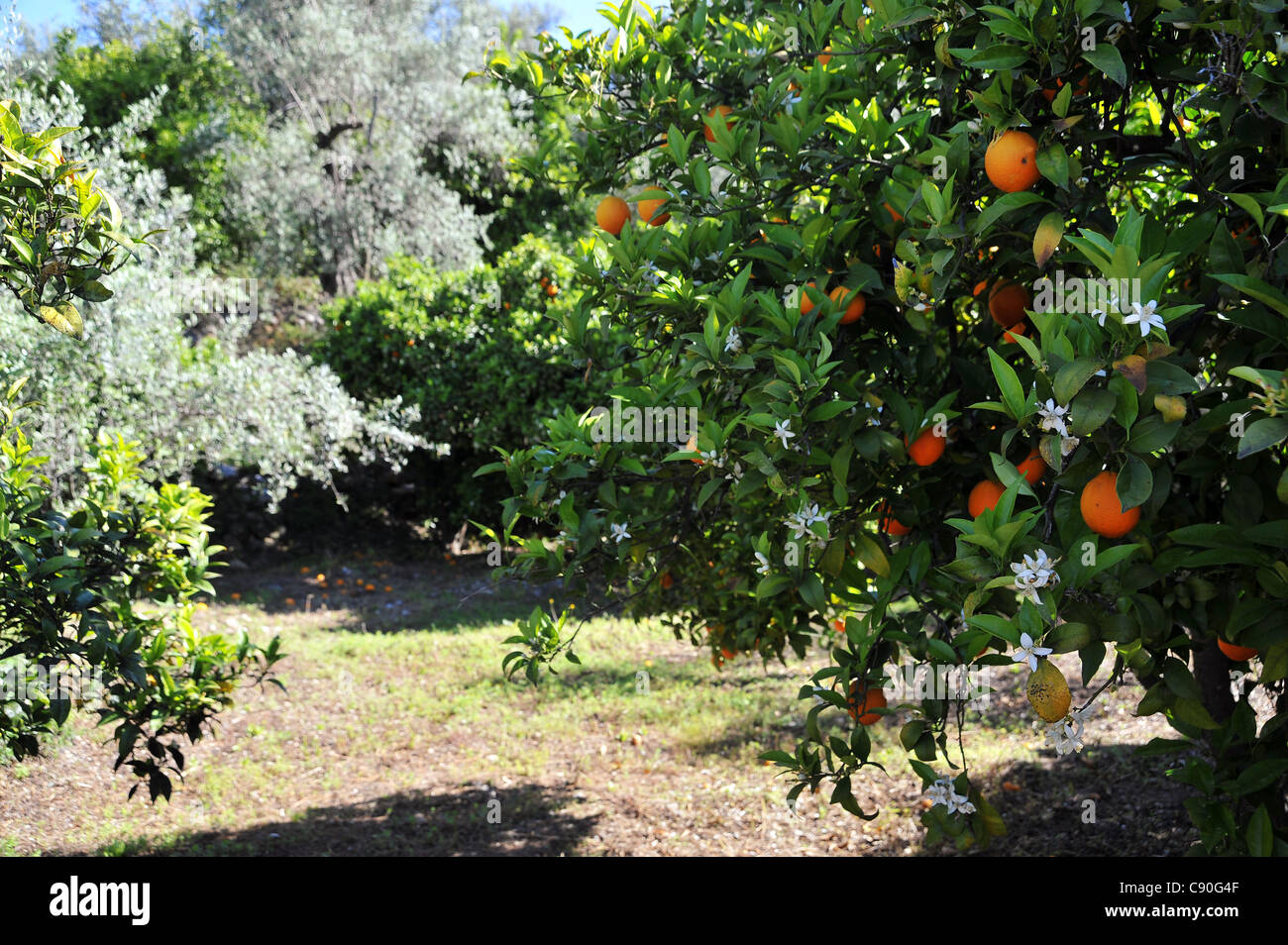 Oranges and orange blossom seen on the same tree in rural Andalusia Spain - Stock Image