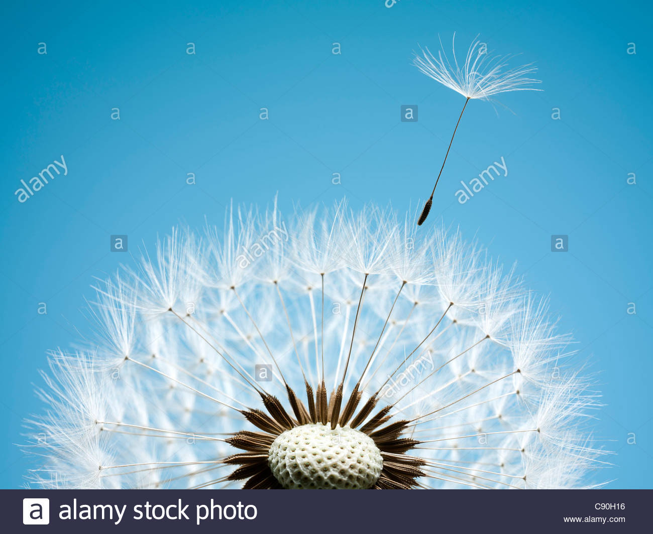 Close up of dandelion spores blowing away - Stock Image