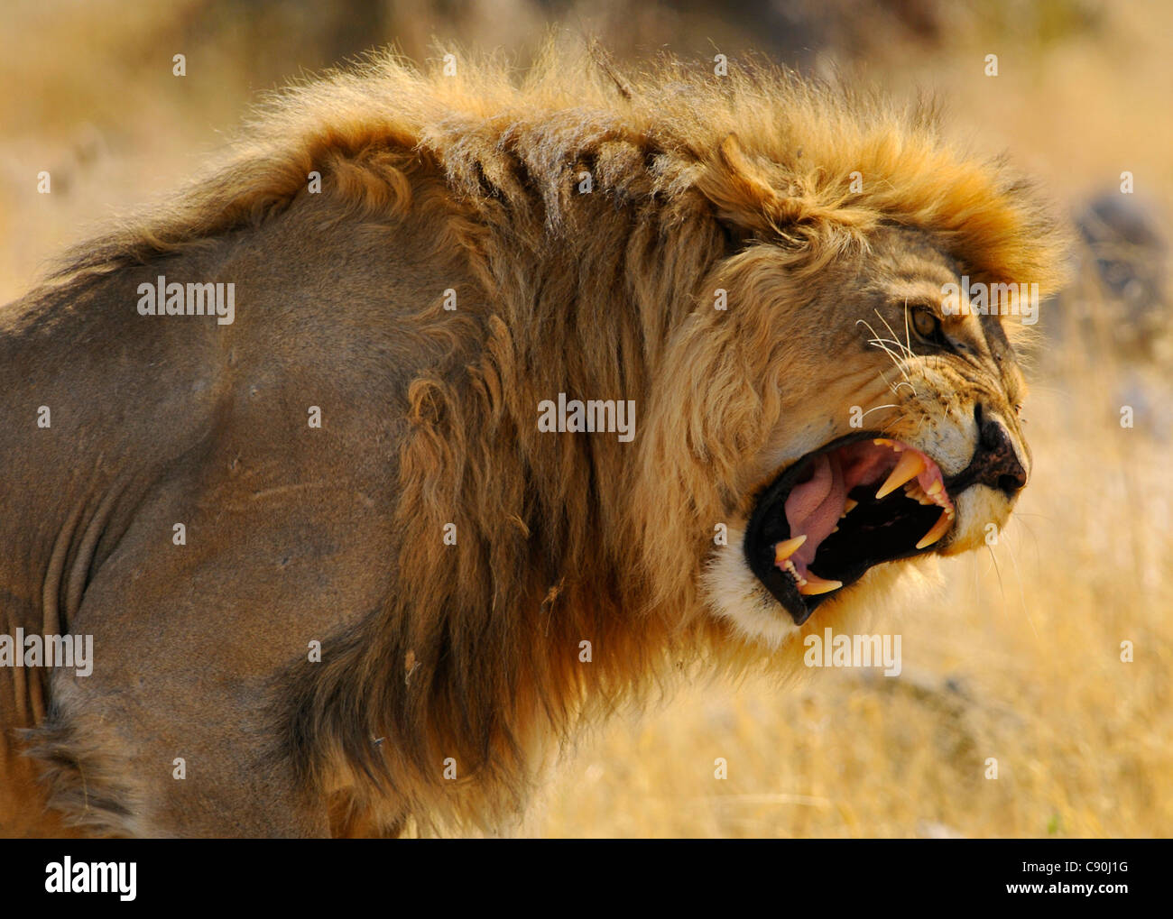 portrait of a roaring lion etosha national park namibia africa