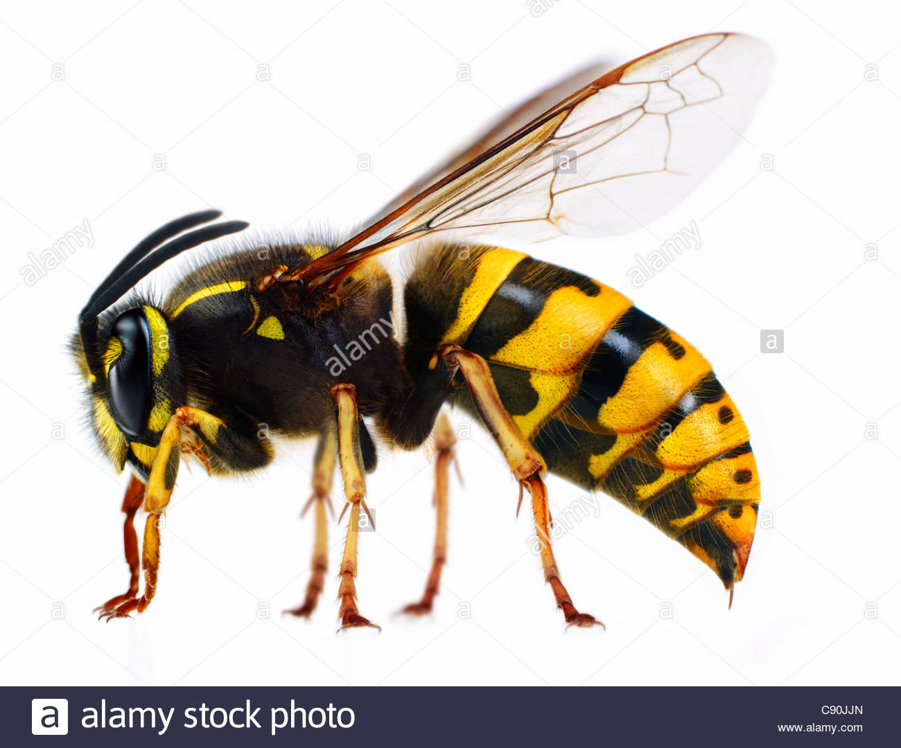 Close up of wasp - Stock Image