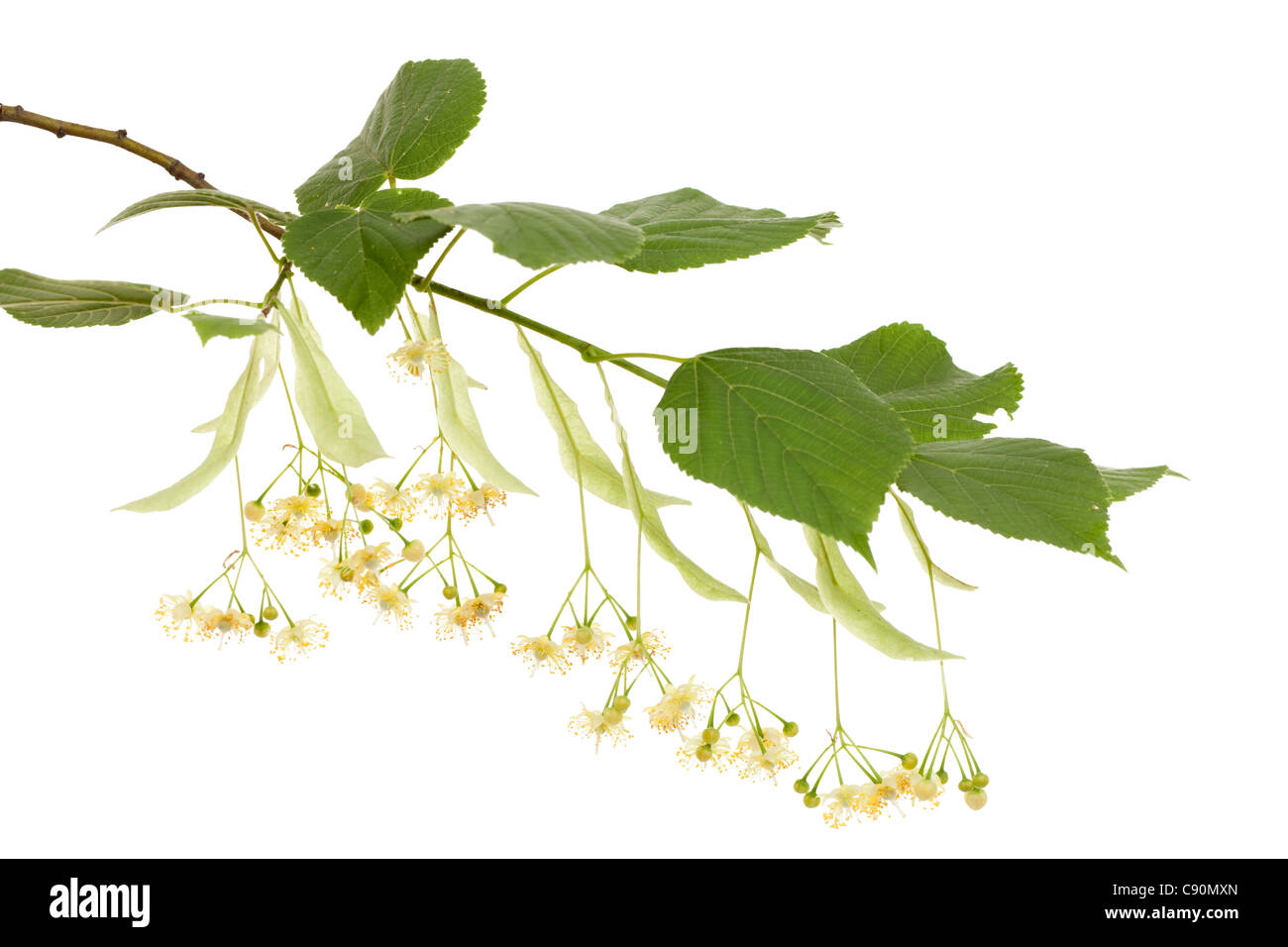 twig linden with leafs and fresh flowers Stock Photo