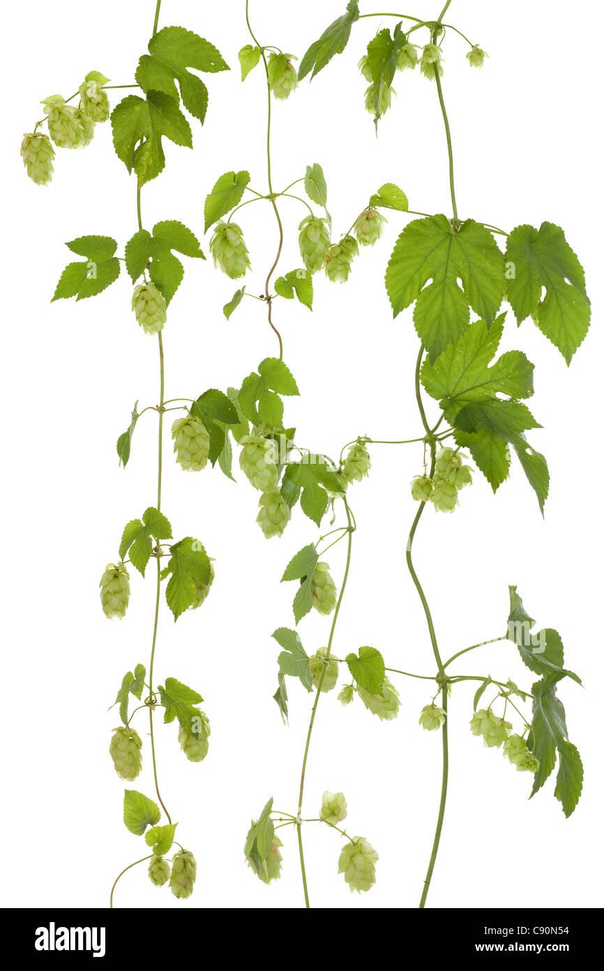 fresh hop's cones on stem on white background - Stock Image