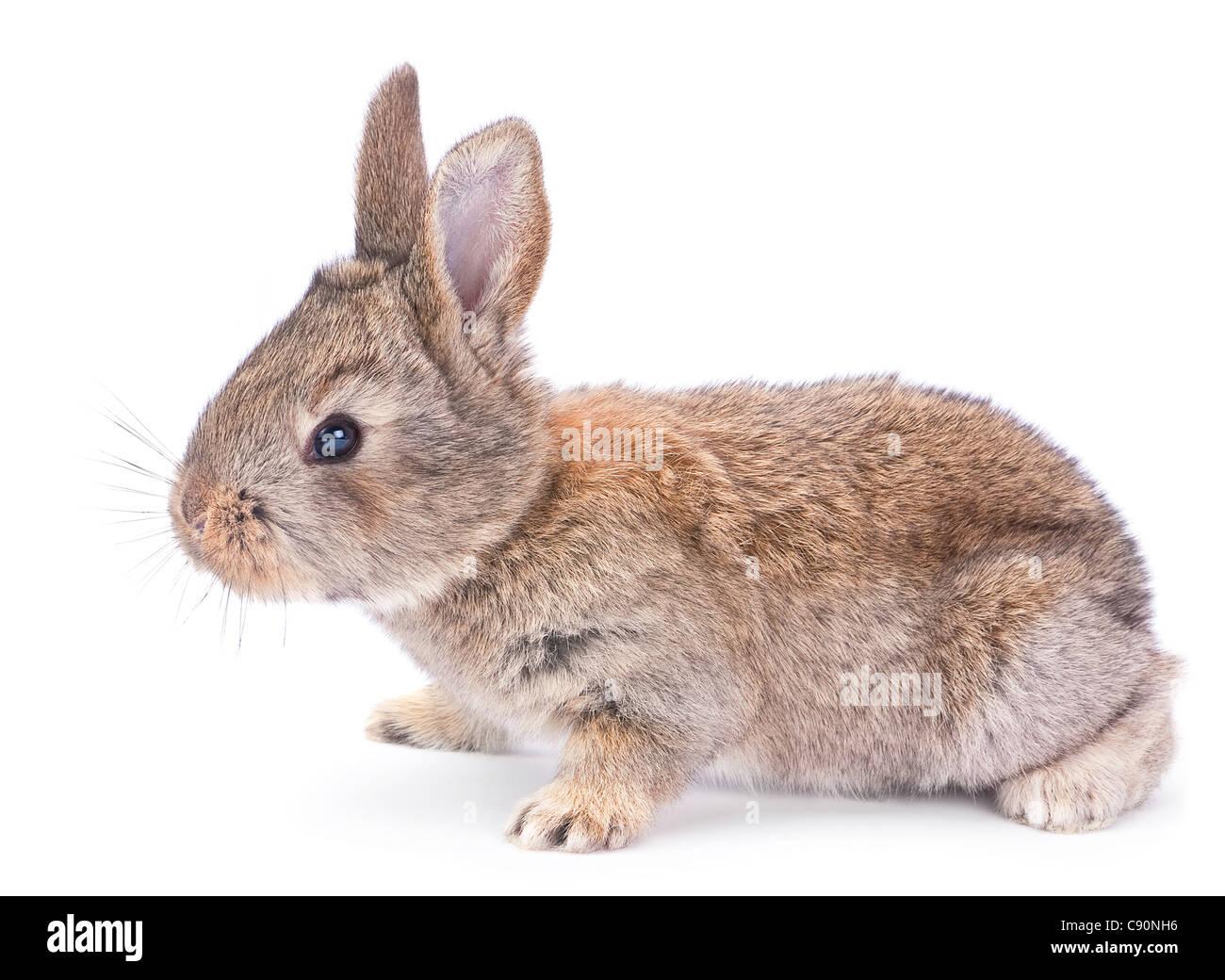 Baby rabbit farm animal closeup on white background - Stock Image