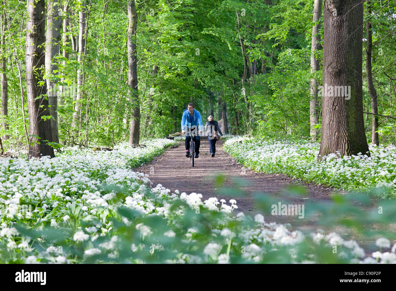Cyclist passing riparian forest with blooming wild garlic, Leipzig, Saxony, Germany - Stock Image
