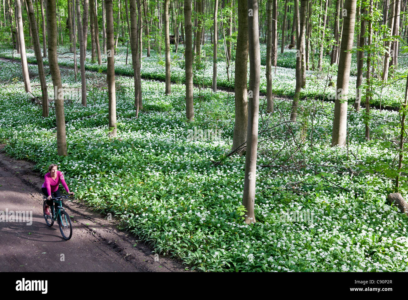 Female cyclist passing riparian forest with blooming wild garlic, Leipzig, Saxony, Germany - Stock Image
