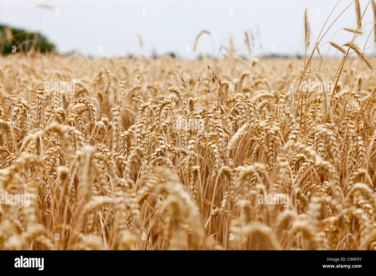 Wheatfield, Usedom island, Mecklenburg-Western Pomerania, Germany - Stock Image