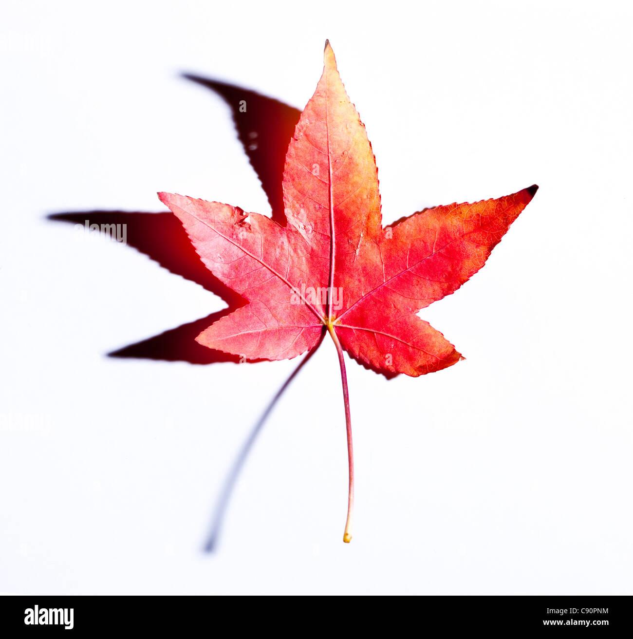 Red leaf, studio shot - Stock Image