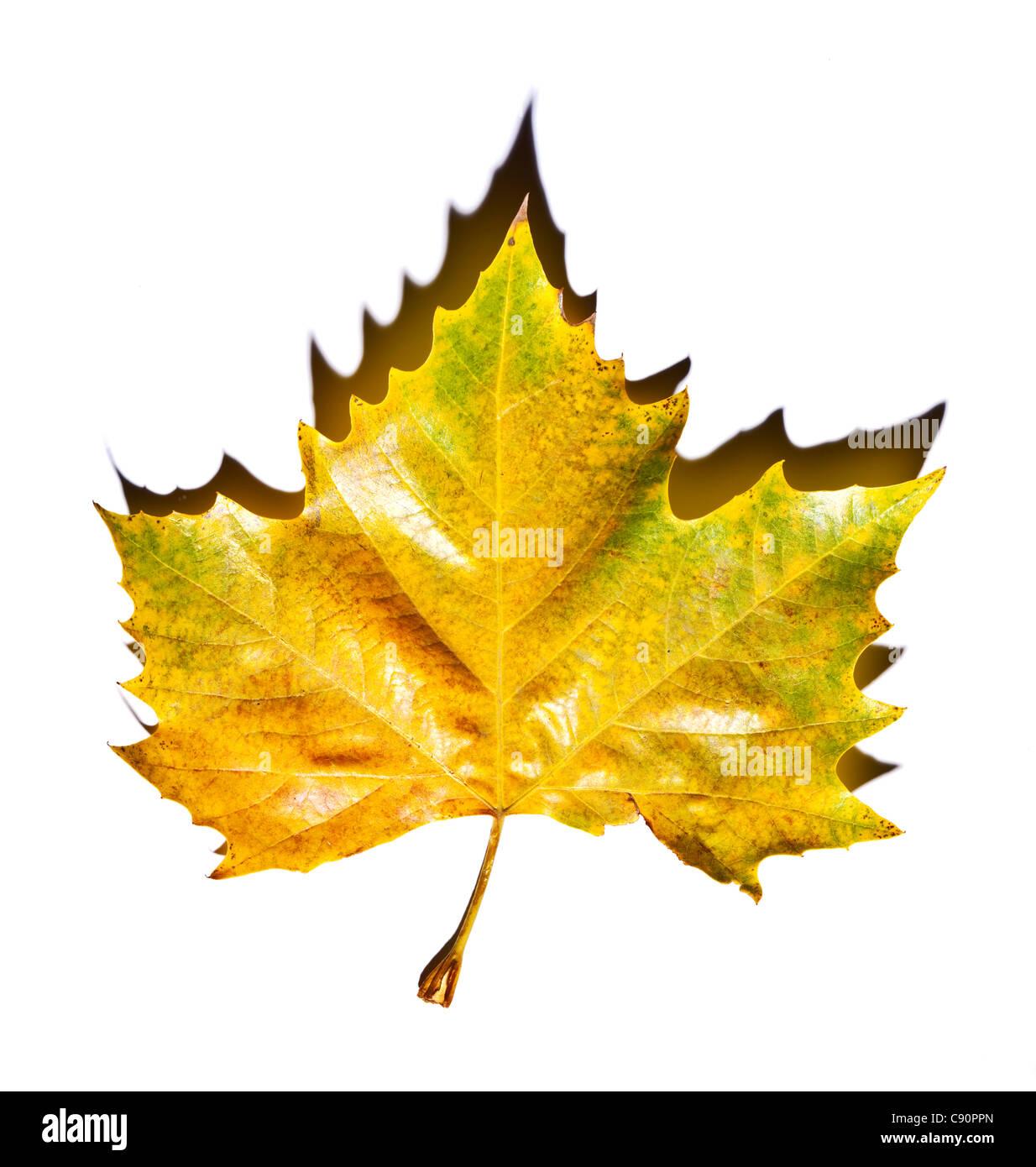 Yellow leaf, studio shot - Stock Image