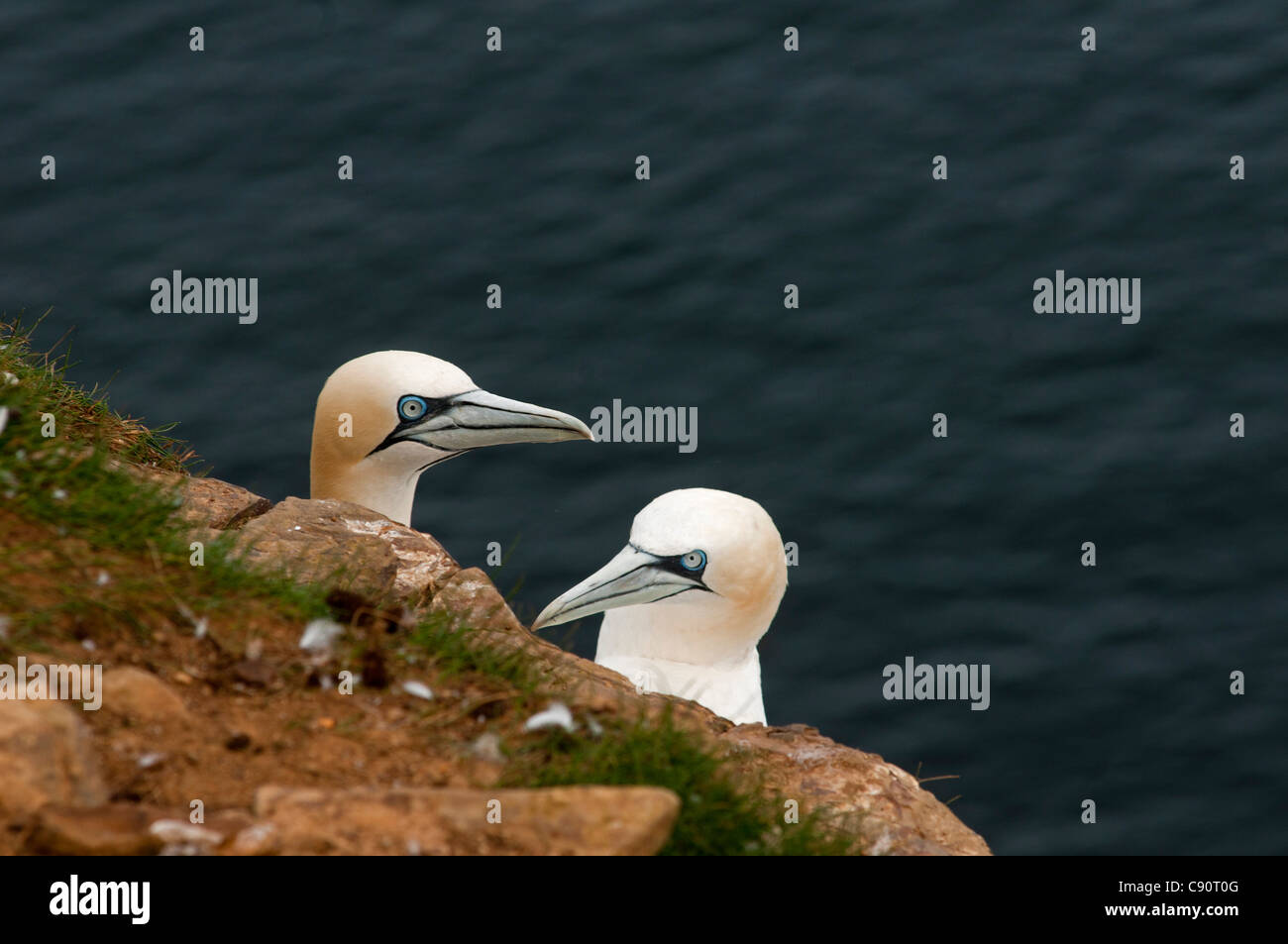 Gannet colony, Troup Head, Aberdeenshire, Schottland - Stock Image