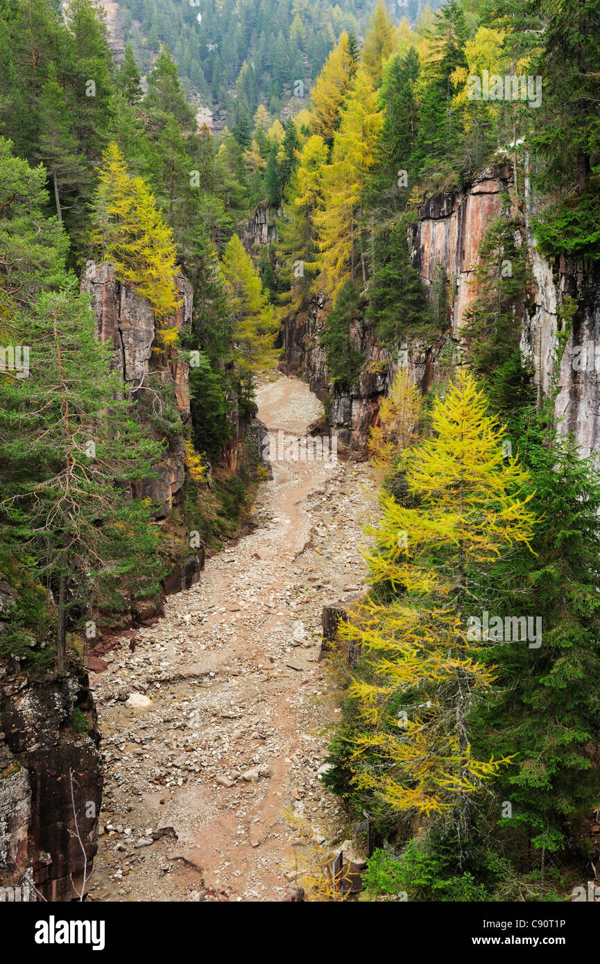 Conifer trees at canyon Bletterbachschlucht, UNESCO World Heritage Site Dolomites, South Tyrol, Italy, Europe - Stock Image