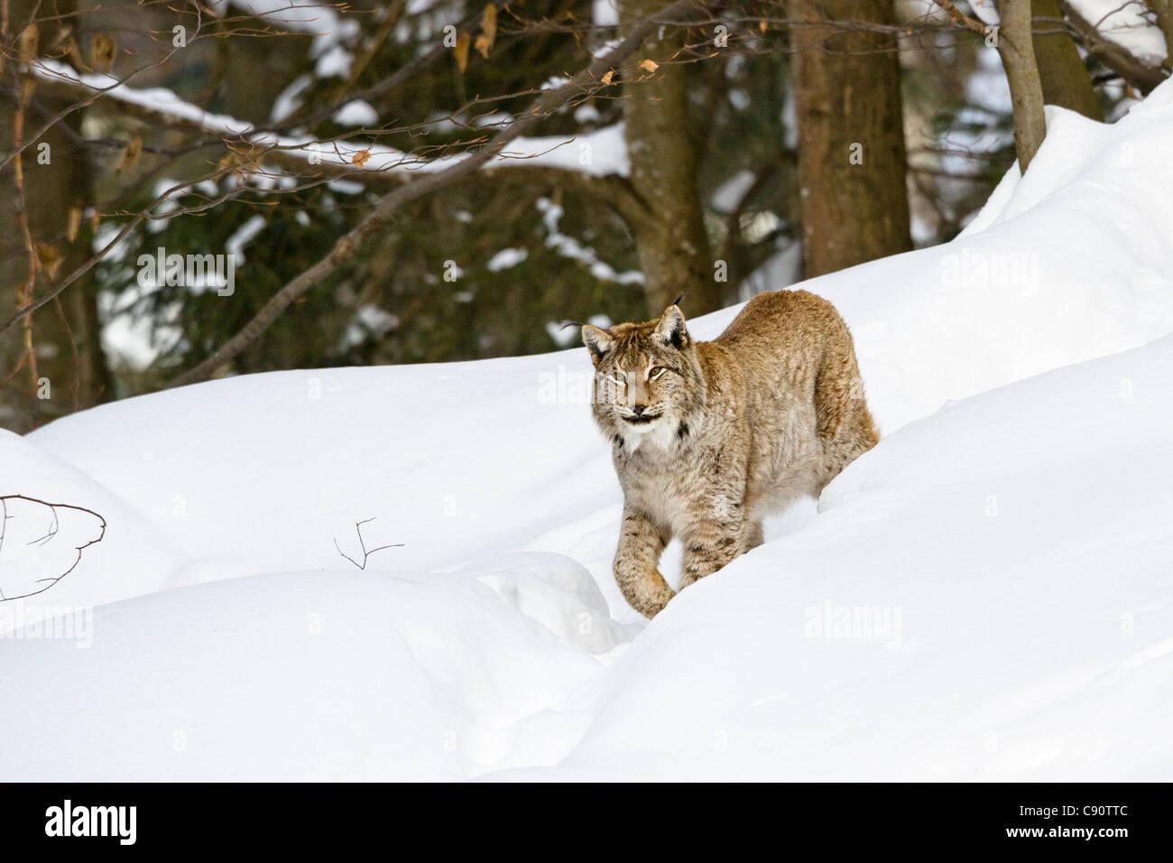 European lynx in the snow, Bavarian Forest National Park, Bavaria, Germany, Europe Stock Photo