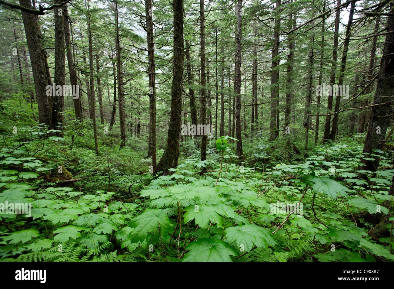 Rain forest. Mount Roberts. Juneau. Alaska. USA - Stock Image