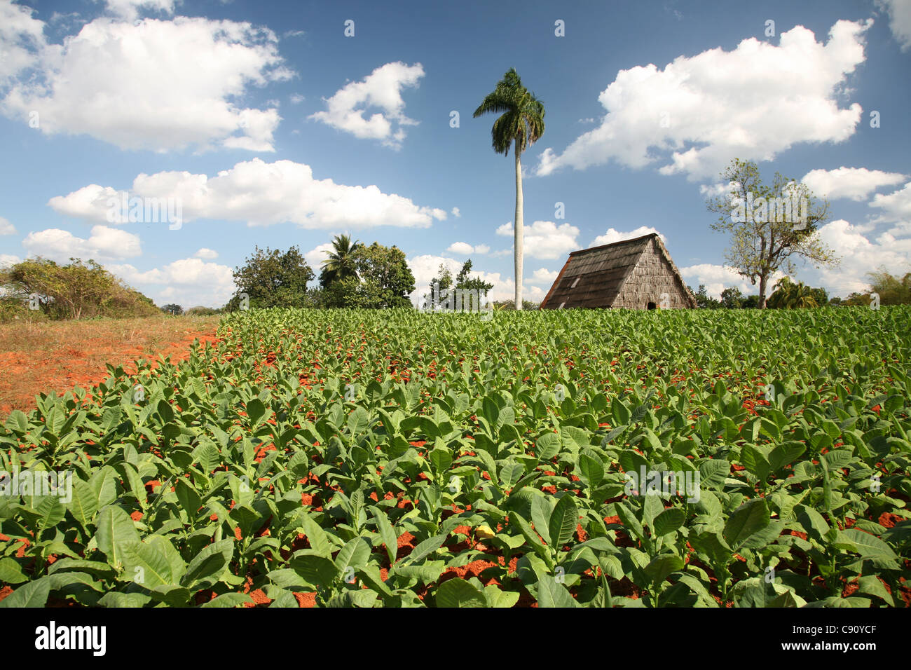 Tobacco plantation with a drying house in the background in the Vinales Valley, Cuba. - Stock Image
