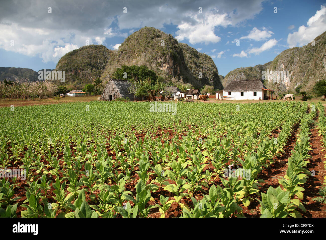 Tobacco plantation with a drying house and the mogotes hill in the background in the Vinales Valley, Cuba. - Stock Image