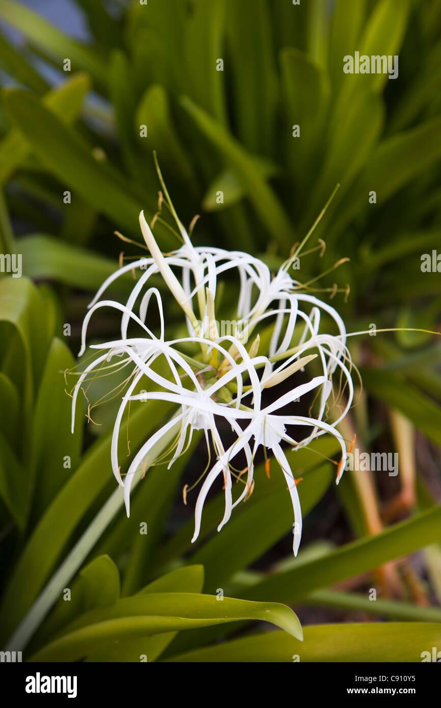 The Netherlands, Oranjestad, Sint Eustatius Island, Dutch Caribbean. Flowering Spider Lily in Botanical Garden. - Stock Image