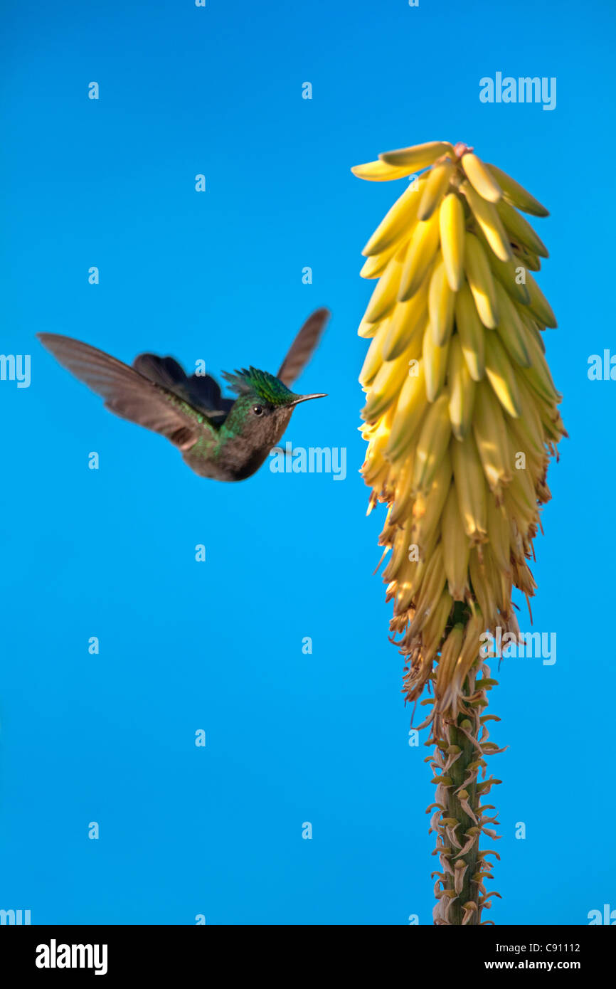 The Netherlands, Oranjestad, Sint Eustatius Island, Dutch Caribbean. Antillean Crested Hummingbird. Male - Stock Image