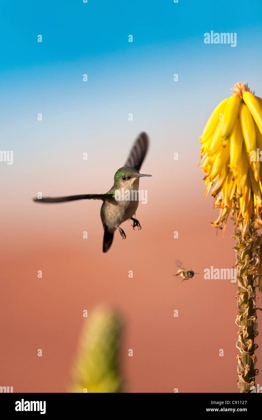 The Netherlands, Oranjestad, Sint Eustatius Island, Dutch Caribbean. Antillean Crested Hummingbird. Female. - Stock Image