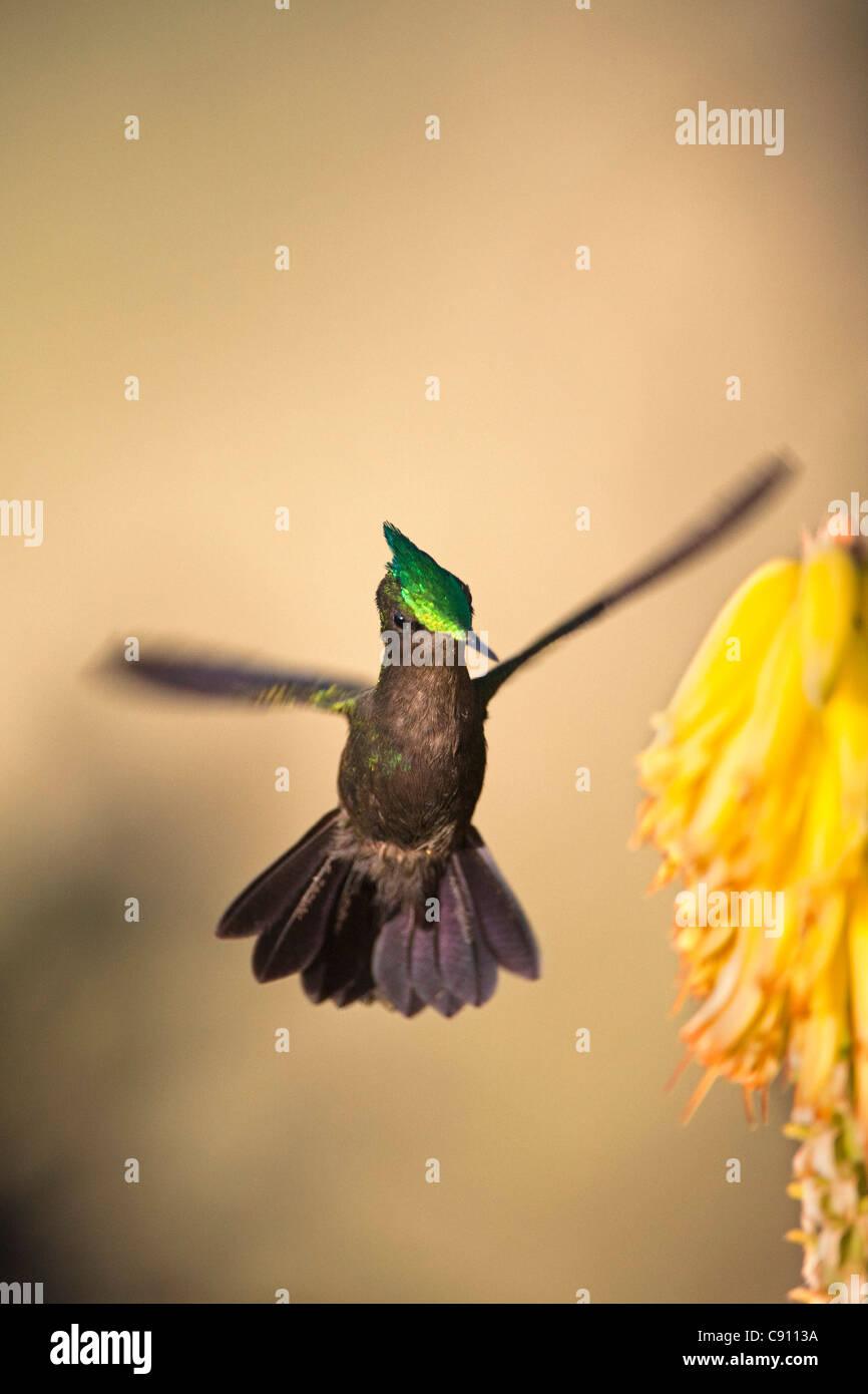 The Netherlands, Oranjestad, Sint Eustatius Island, Dutch Caribbean. Antillean Crested Hummingbird. Male. - Stock Image