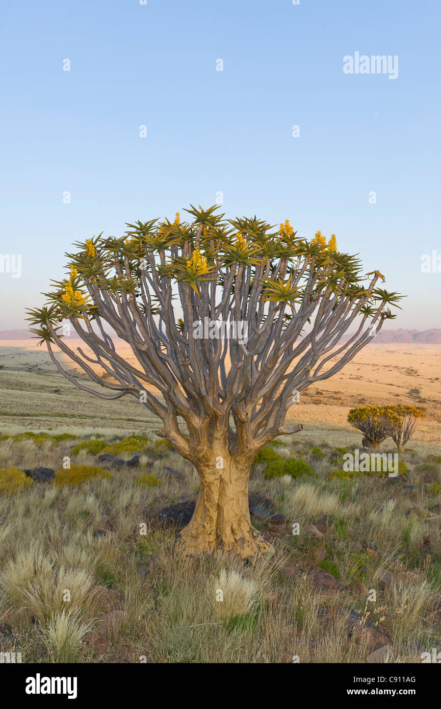 Quiver tree on Koiimasis farm Tiras Mountains Namibia - Stock Image