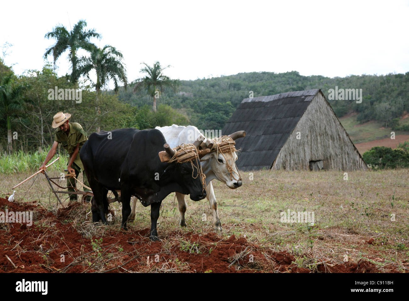 Ploughing with oxen in the Vinales Valley, Cuba. - Stock Image