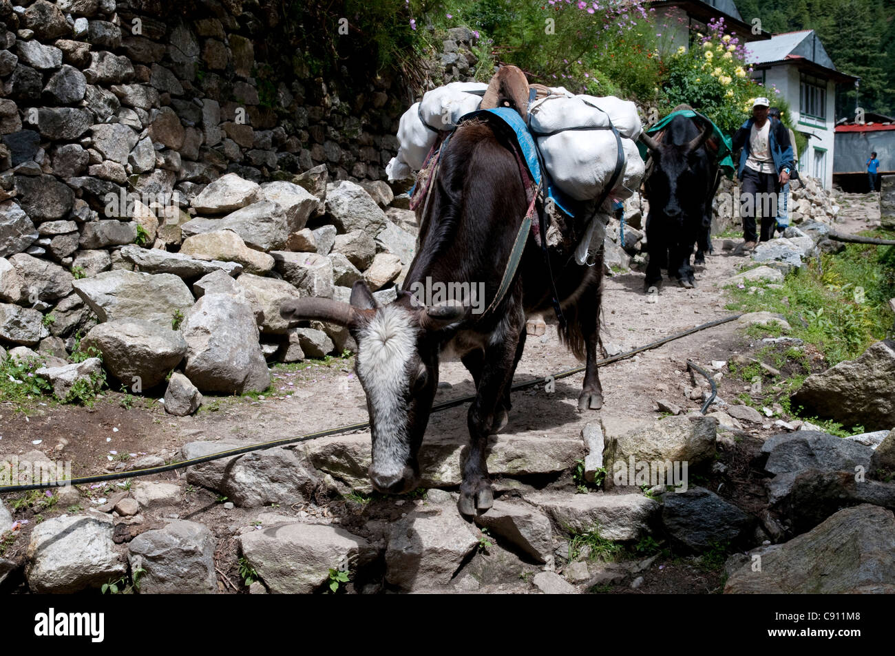 Yaks carry much of the loads on treks and expeditions in the mountains and are surefooted on the rocky paths. - Stock Image