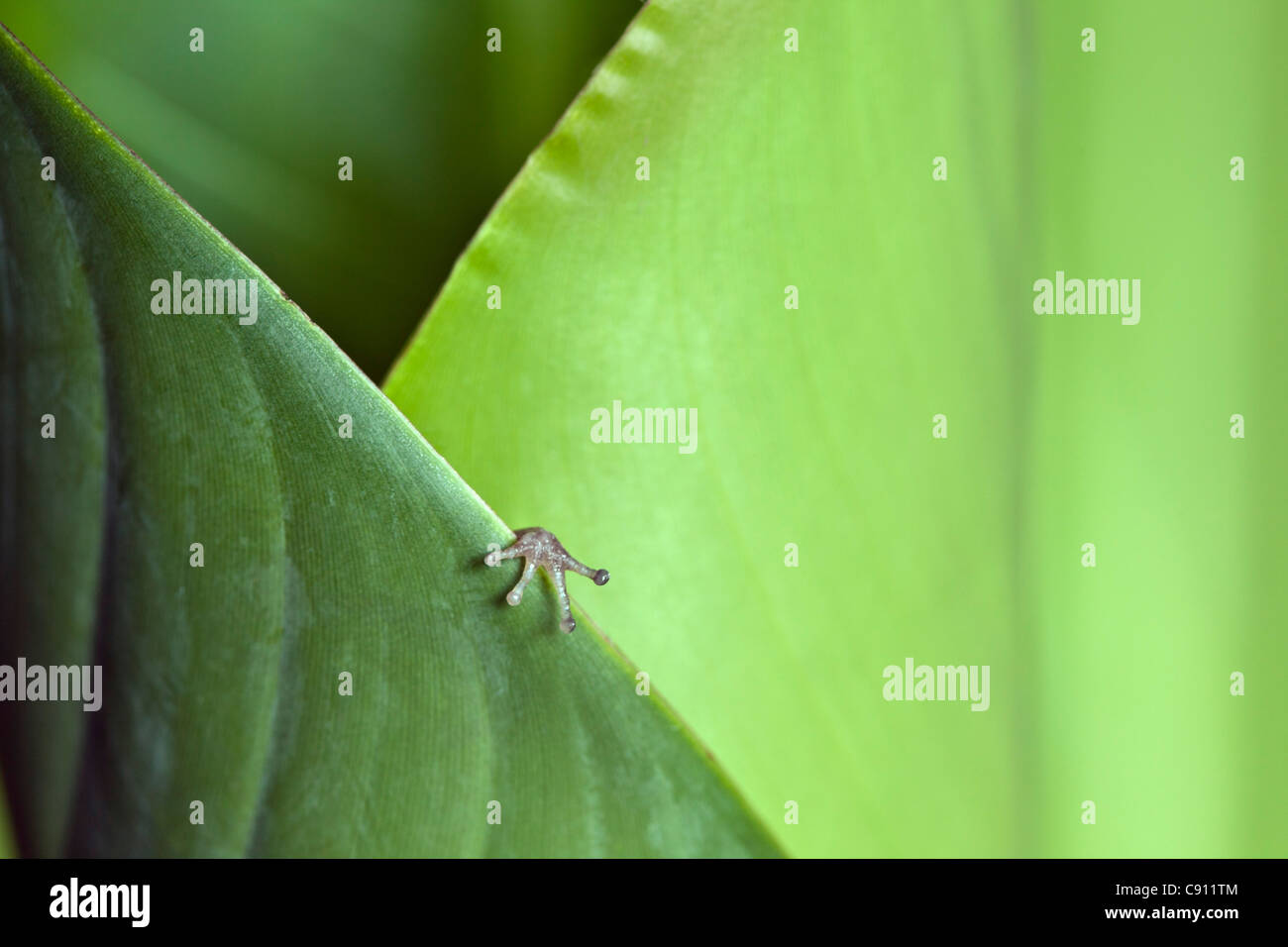 Netherlands, Windwardside, Saba Island, Dutch Caribbean. Whistling Tree Frog ( Eleutherodactylus johnstonei ) Heliconia - Stock Image