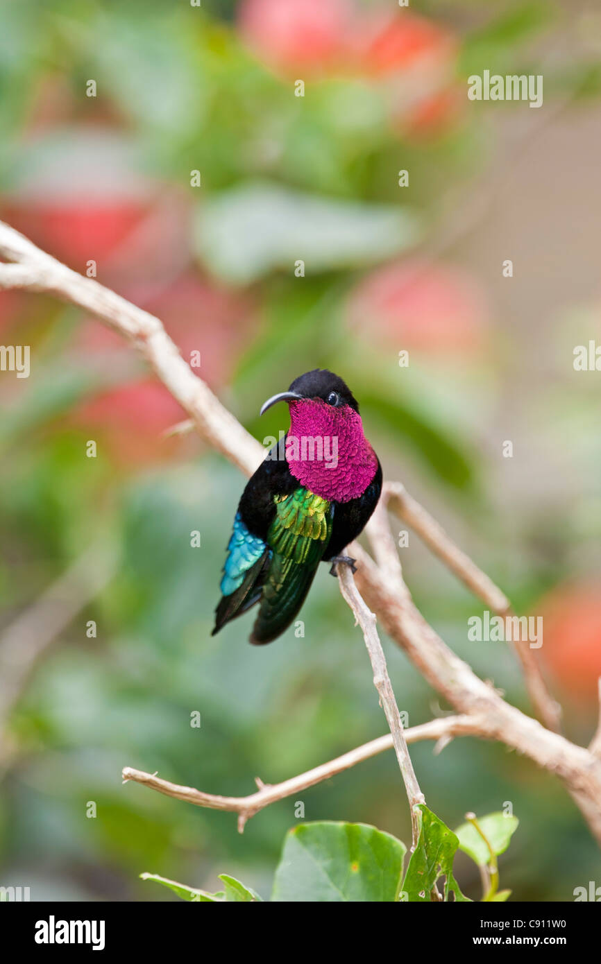 The Netherlands, Windwardside, Saba Island, Dutch Caribbean. Purple throated Carib hummingbird ( Eulampis jugularis - Stock Image