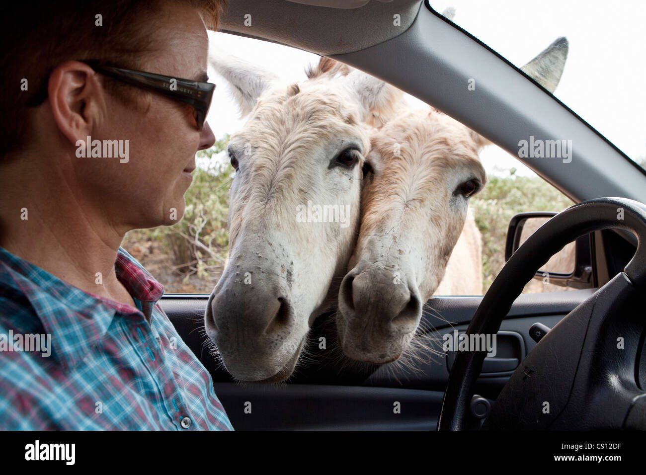 The Netherlands, Bonaire Island, Dutch Caribbean, Kralendijk, Donkey sanctuary. Stock Photo