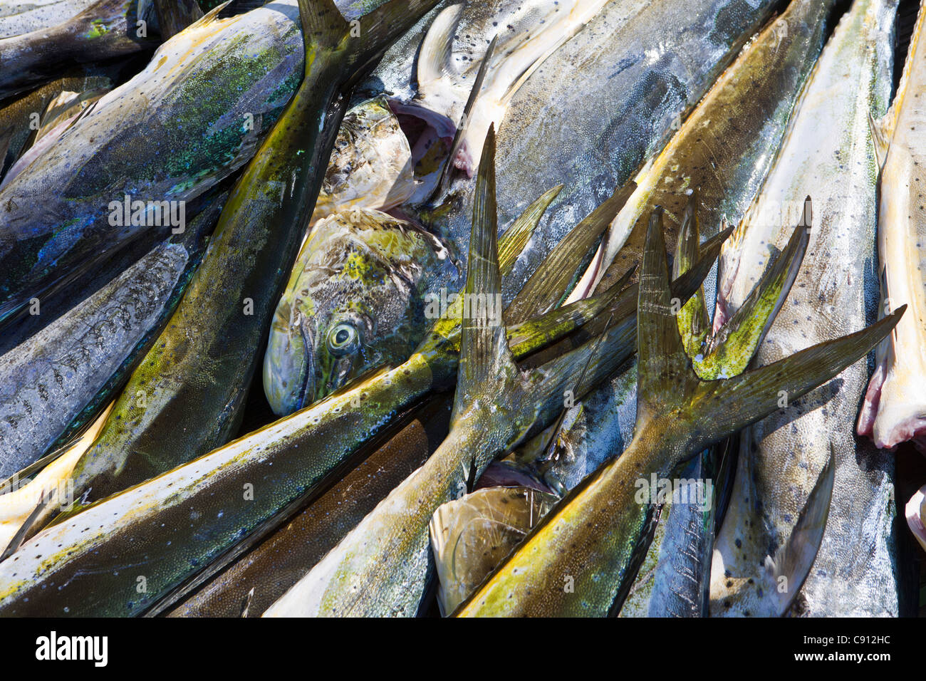 The Netherlands, Bonaire Island, Dutch Caribbean, Kralendijk, Sea fish caught for restaurant. - Stock Image