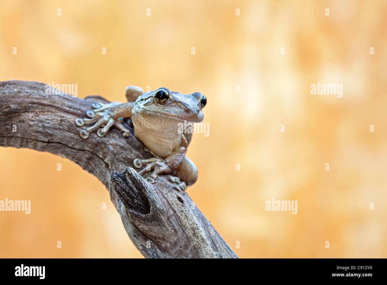 Netherland, Bonaire Island, Dutch Caribbean, Kralendijk, Coqui Antillano, Whistling Tree frog ( Eleutherodactylus Stock Photo