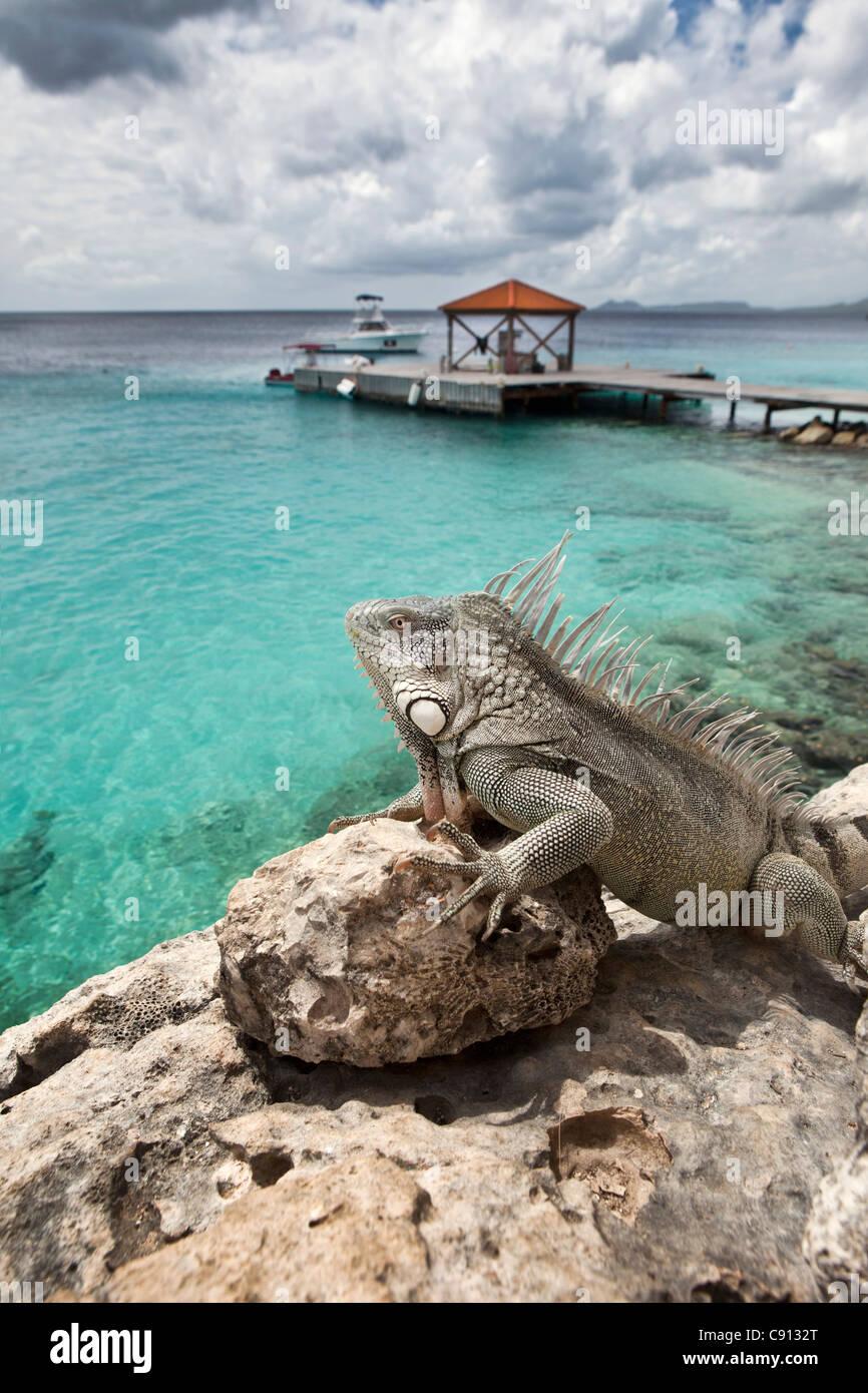 The Netherlands, Bonaire Island, Dutch Caribbean, Kralendijk, Green Iguana ( Iguana iguana ) near diver's beach - Stock Image