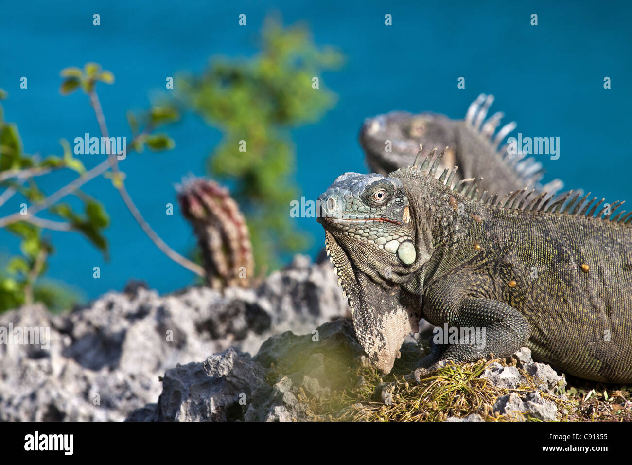 The Netherlands, Bonaire Island, Dutch Caribbean, Kralendijk, Green Iguana ( Iguana iguana ). Stock Photo