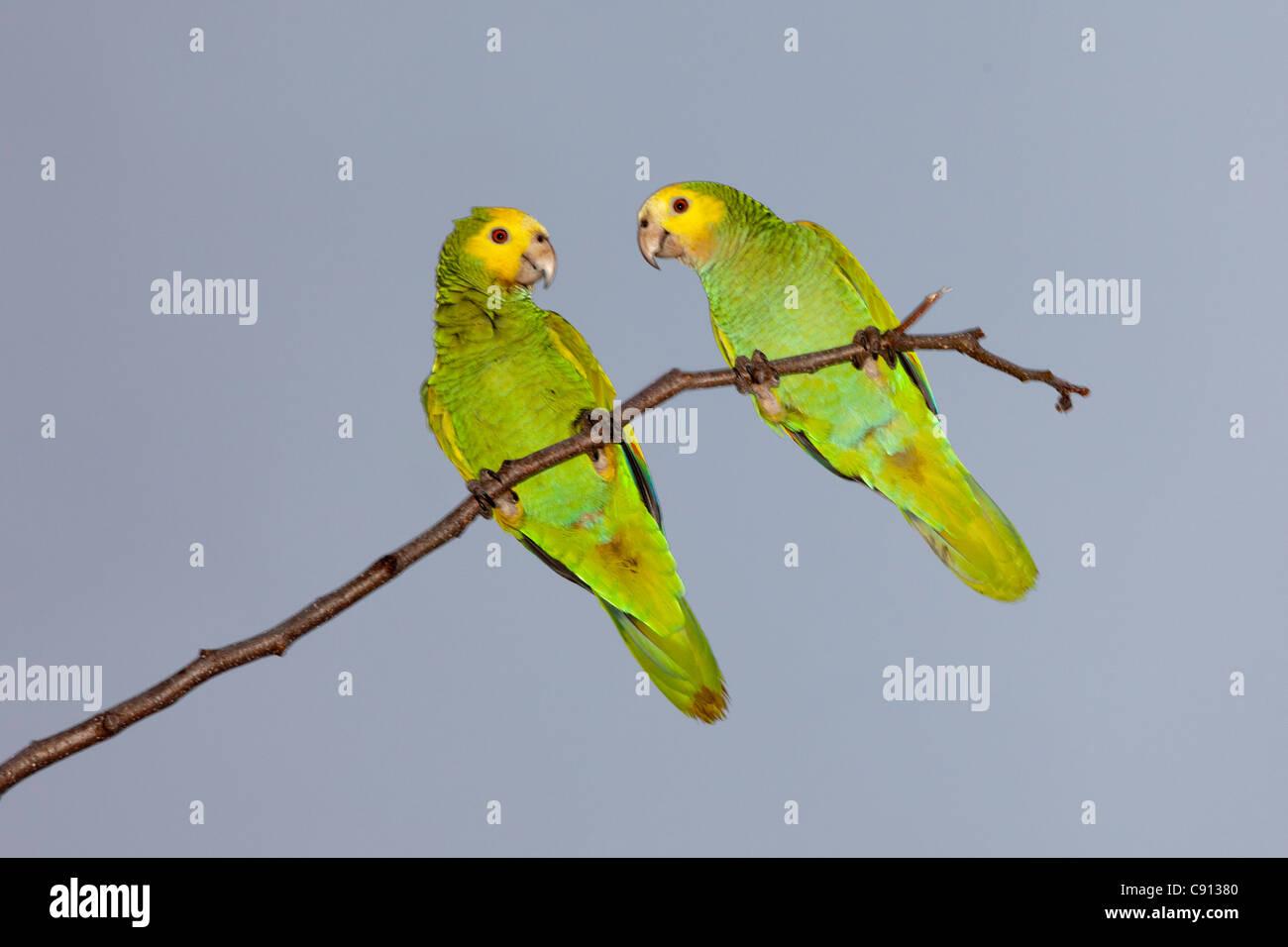 The Netherlands, Bonaire Island, Dutch Caribbean, Kralendijk, Couple of small parrots, parakeets. - Stock Image