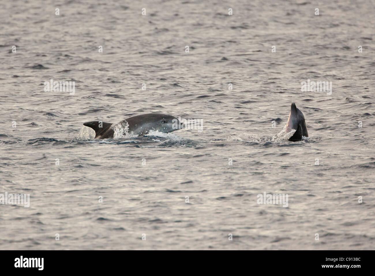 The Netherlands, Bonaire Island, Dutch Caribbean, Kralendijk, Dolphins. - Stock Image