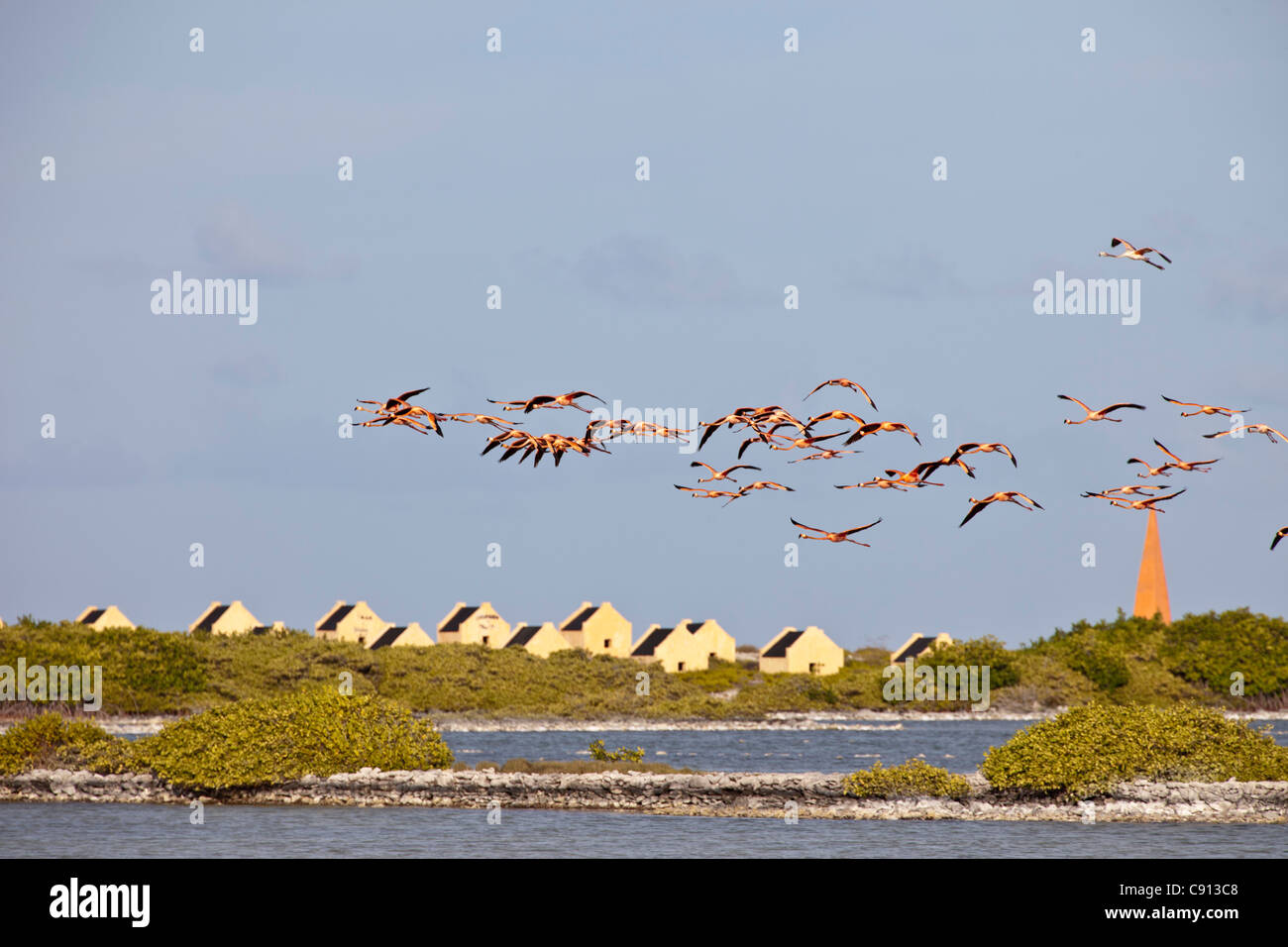 Netherland, Bonaire Island, Dutch Caribbean, Kralendijk, Greater Flamingos (Phoenicopterus ruber) flying in front - Stock Image