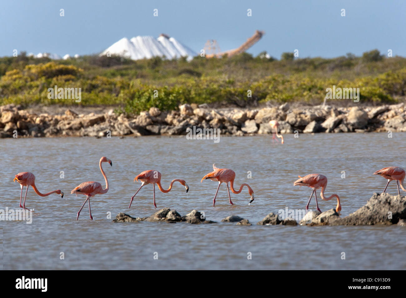 The Netherlands, Bonaire Island, Dutch Caribbean, Kralendijk, American Flamingo ( Phoenicopterus ruber ). Background - Stock Image