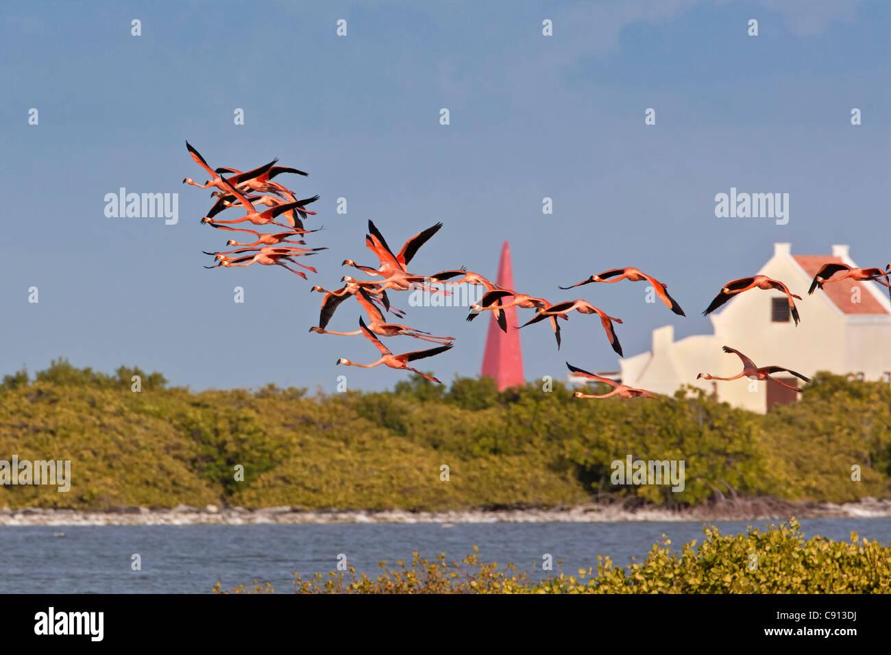 Bonaire Island, Dutch Caribbean, Kralendijk, Greater Flamingos ( Phoenicopterus ruber ) flying in front of slave Stock Photo