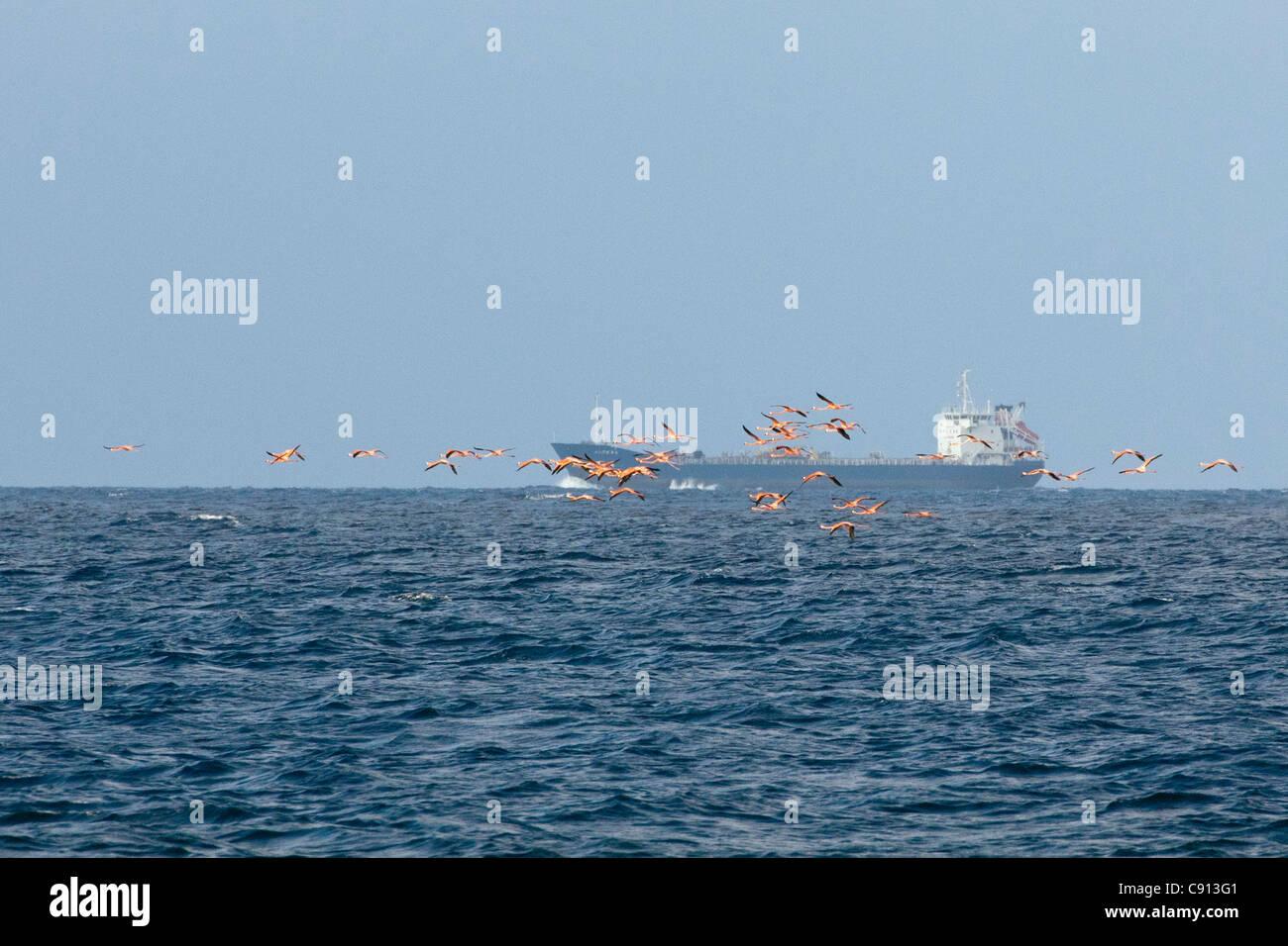 The Netherlands, Bonaire Island, Dutch Caribbean, Kralendijk, American Flamingo ( Phoenicopterus ruber ). Oil tanker. Stock Photo