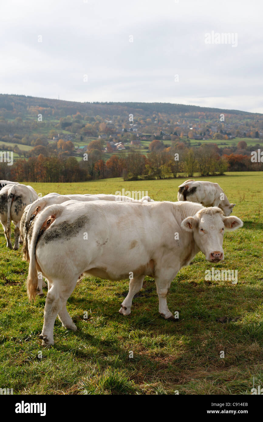 A cow in Aisne, Les Ardennes, Belgium - Stock Image