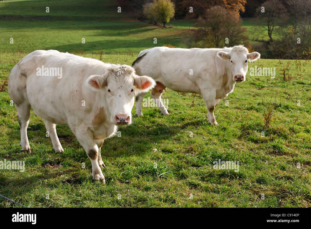 Cows in Aisne, Les Ardennes, Belgium - Stock Image