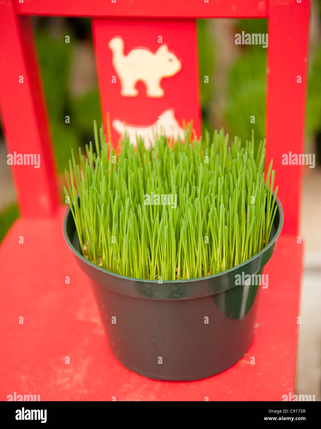 Pet grass is popular in the USA and is grown in pots which small animals like cats and dogs can chew on whenever - Stock Image