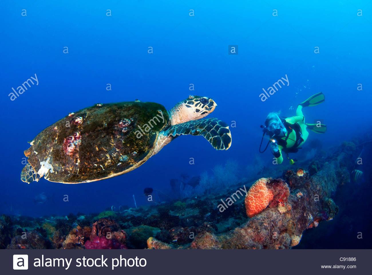 Hawksbill Turtle (Eretmochelys Imbricata) at the SS Yongala Shipwreck Great Barrier Reef QLD Australia - Stock Image