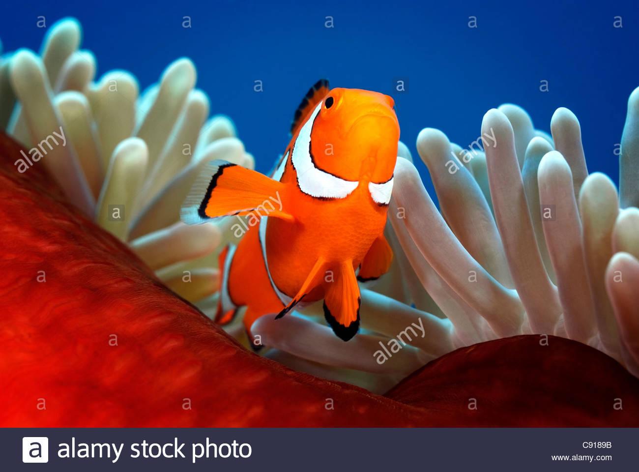 Close Up Of Clownfish Stock Photos & Close Up Of Clownfish Stock ...