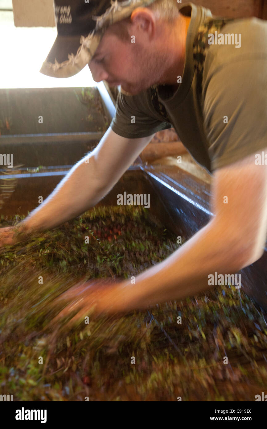 Man separating the cranberries from the vines in machine. - Stock Image