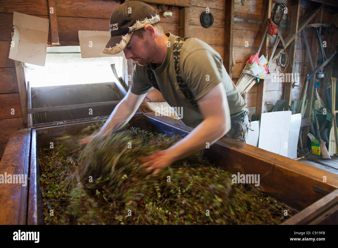 Man separating the cranberries for the vines in machine. - Stock Image