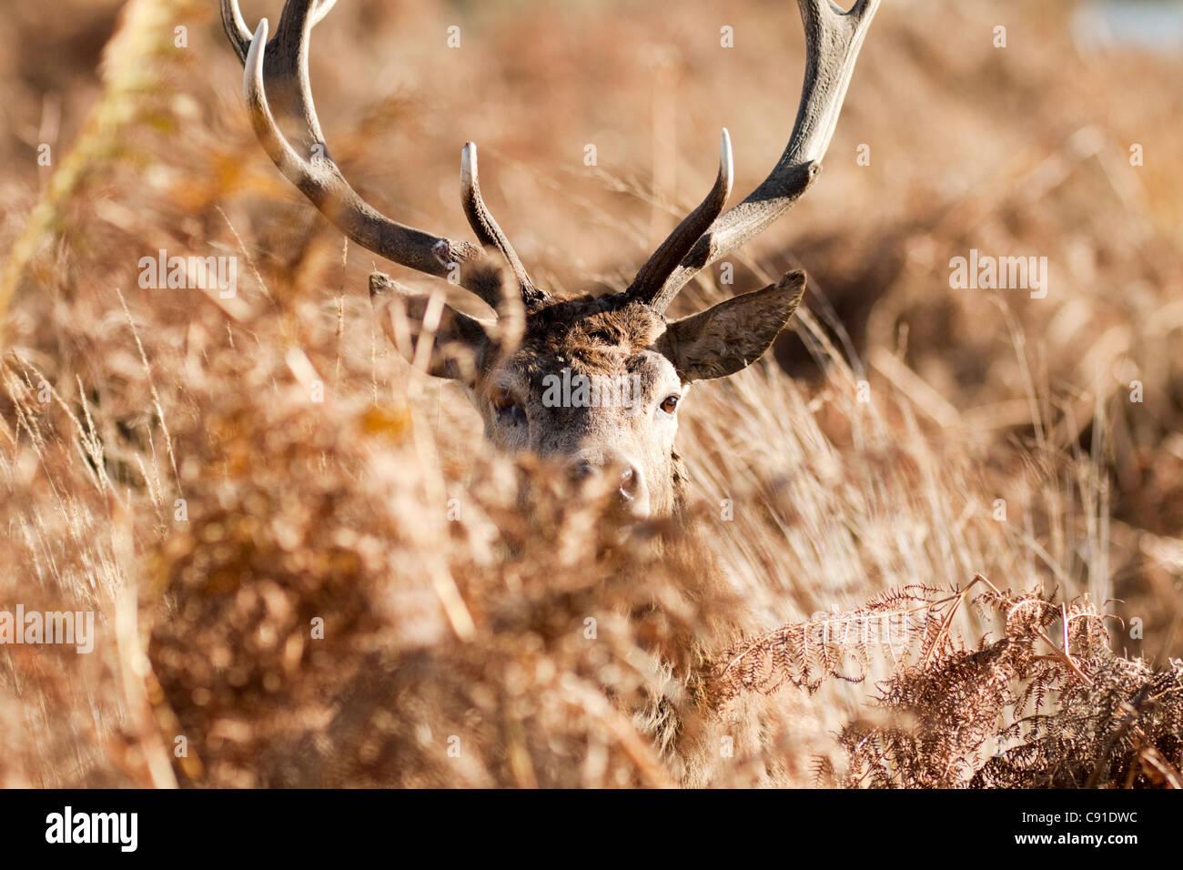 Red deer stag, Curvus elaphus, Richmond park, autumn/fall, Surrey, England, UK - Stock Image